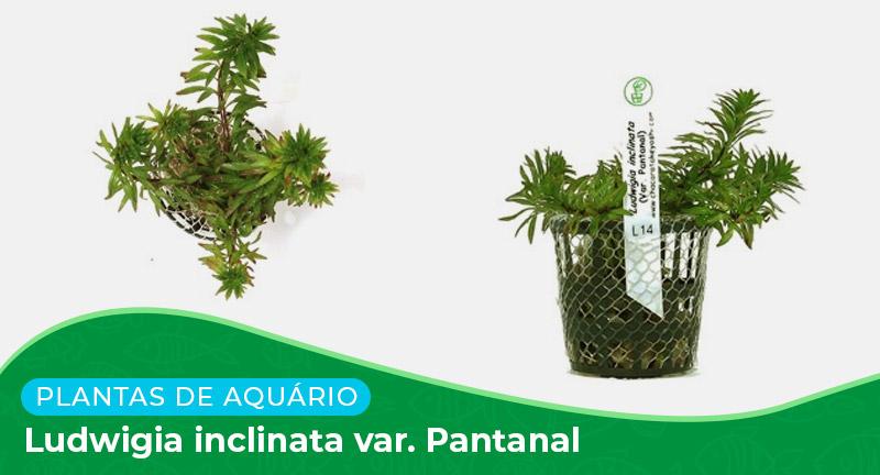 Ficha: Planta Ludwigia inclinata var. Pantanal