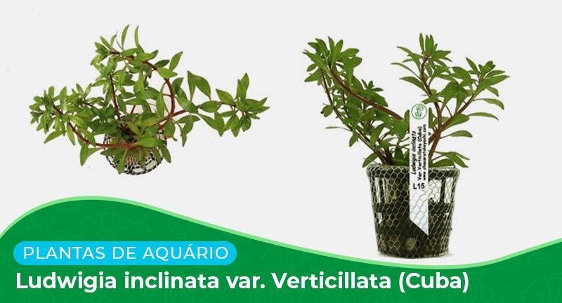 Ficha: Planta Ludwigia inclinata var. Verticillata (Cuba)