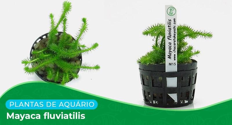 Ficha: Planta Mayaca fluviatilis