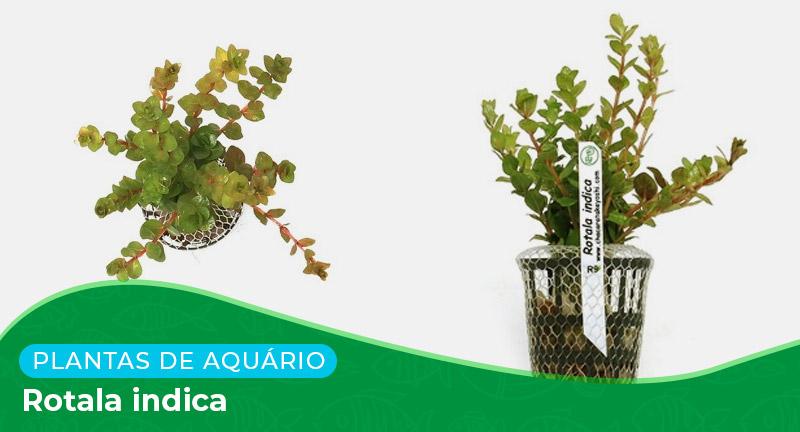 Ficha: Planta Rotala Indica