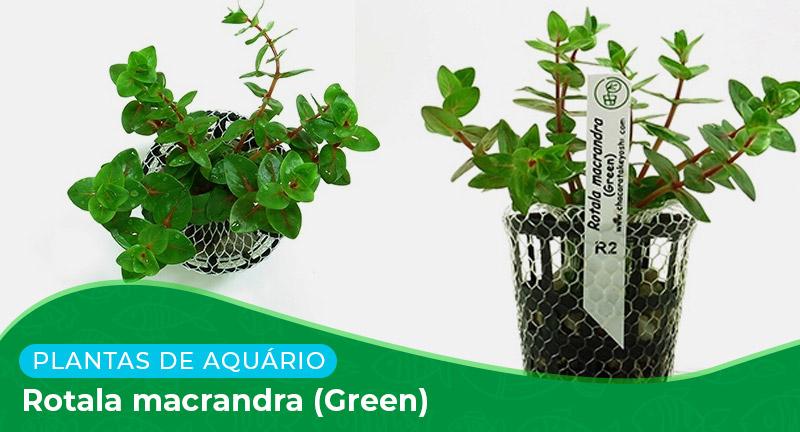 Ficha: Planta Rotala macrandra (Green)