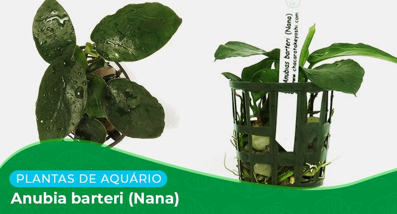Ficha: Planta Anubia barteri (Nana)