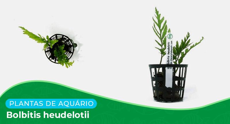 Ficha: Planta Bolbitis Heudelotii