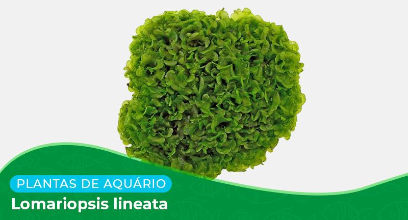 Ficha: Lomariopsis Lineata