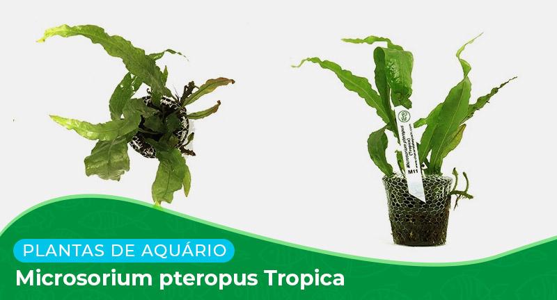 Ficha: Microsorium Pteropus Tropica