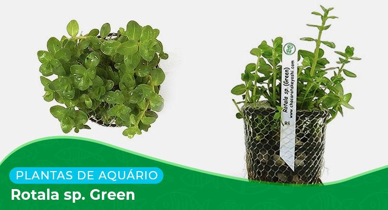Ficha: Planta Rotala sp. Green