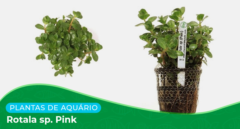 Ficha: Planta Rotala sp. Pink