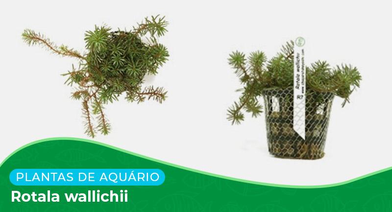 Ficha: Planta Rotala Wallichii
