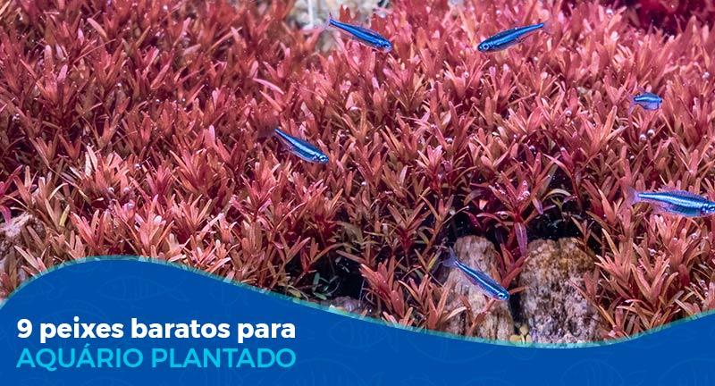 9 peixes baratos para aquário plantado
