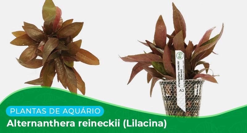 Ficha: Planta Alternanthera Reineckii (Lilacina)