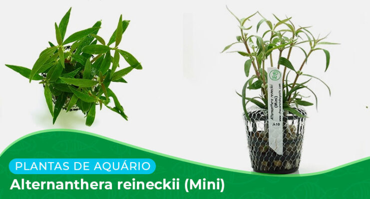 Ficha: Planta Alternanthera Reineckii (Mini)