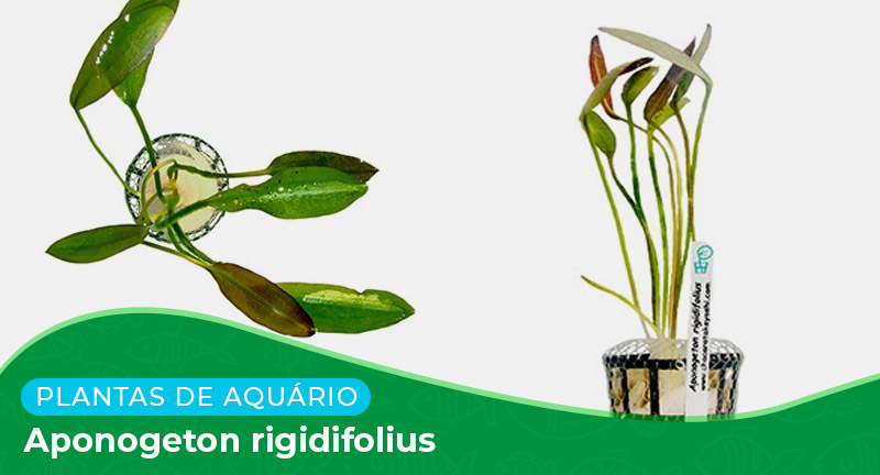 Ficha: Planta Aponogeton Rigidifolius