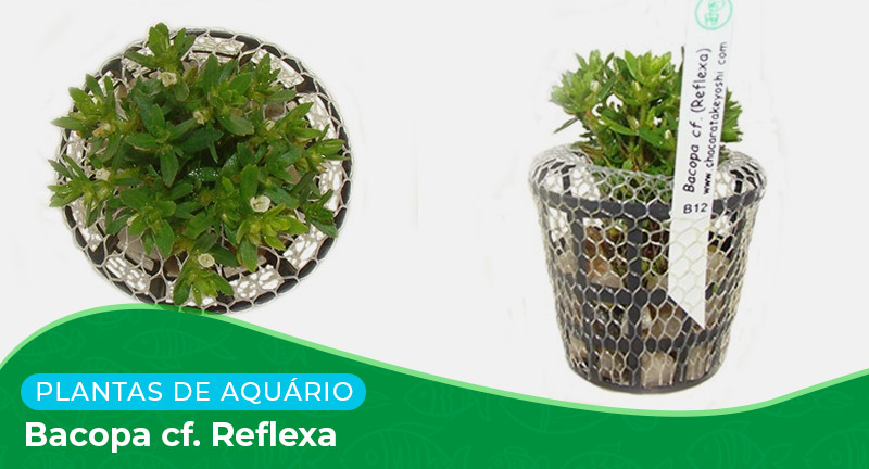 Ficha: Planta Bacopa cf. Reflexa