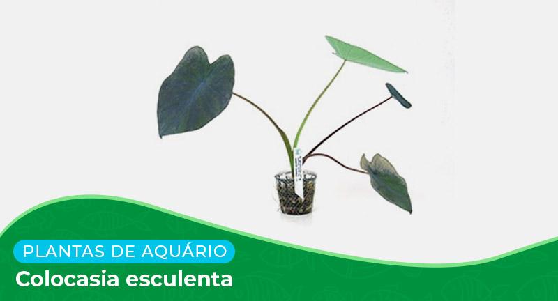 Ficha: Planta Colocasia Esculenta