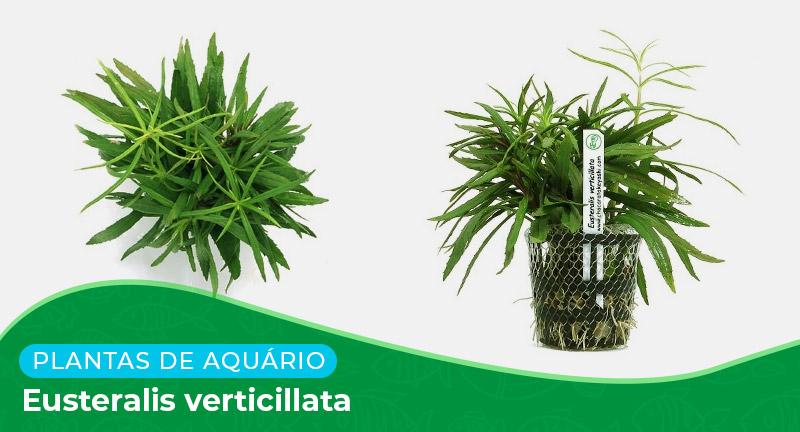 Ficha: Planta Eusteralis Verticilata