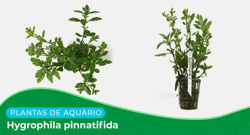 Ficha: Planta Hygrophila Pinnatifida