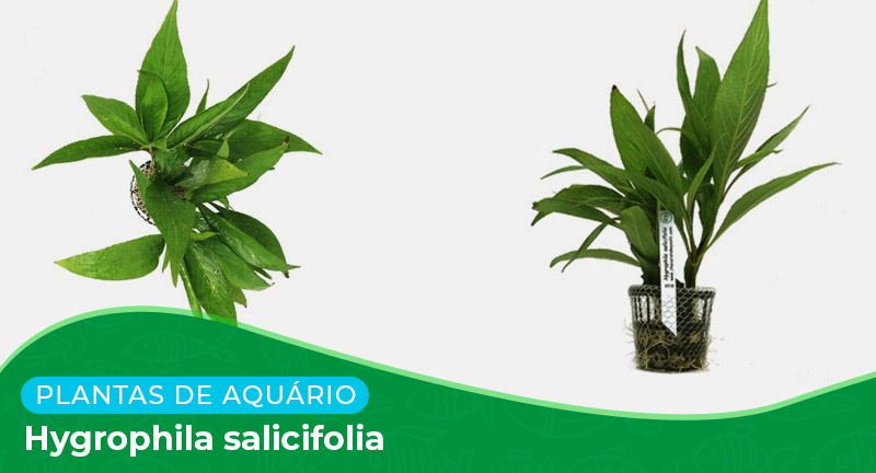 Ficha: Planta Hygrophila Salicifolia