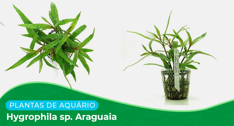 Ficha: Planta Hygrophila sp. Araguaia