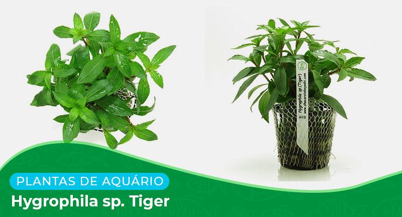 Ficha: Planta Hygrophila sp. Tiger