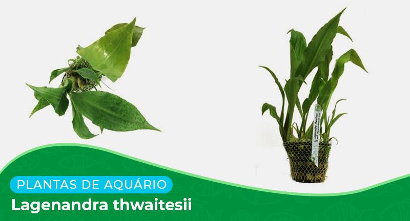 Ficha: Planta Lagenandra Thwaitesii