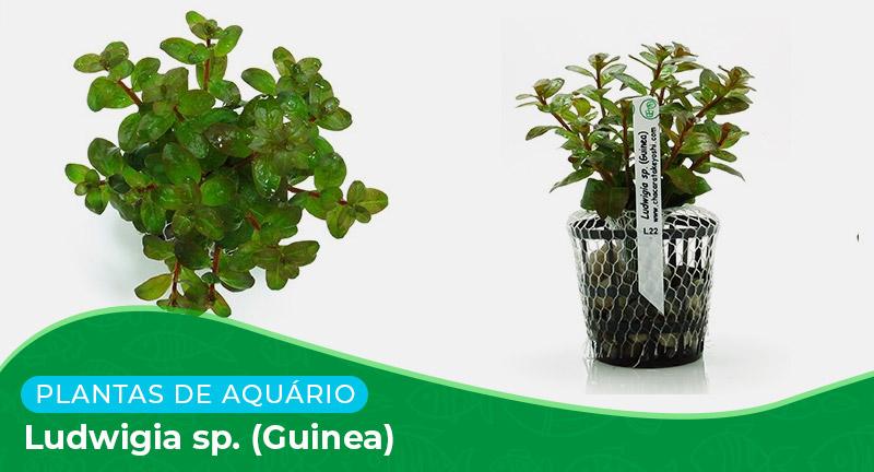 Ficha: Planta Ludwigia sp. (Guinea)