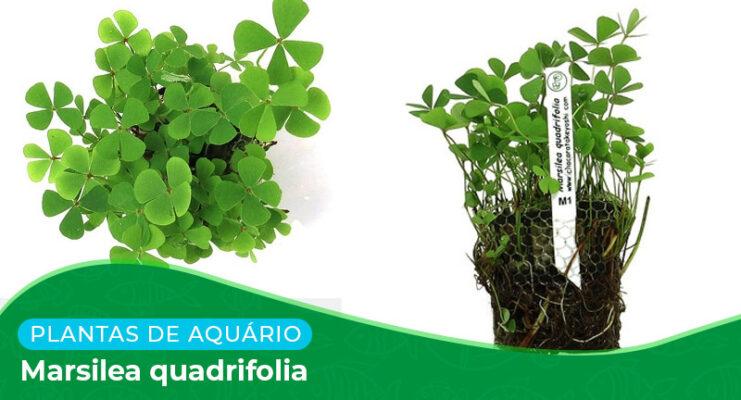 Ficha: Planta Marsilea Quadrifolia