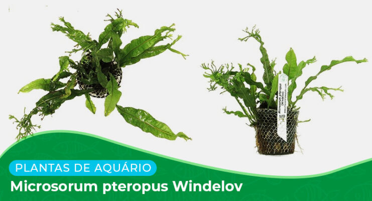 Ficha: Planta Microsorum Pteropus Windelov