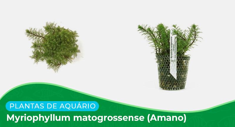 Ficha: Planta Myriophyllum Matogrossense (Amano)