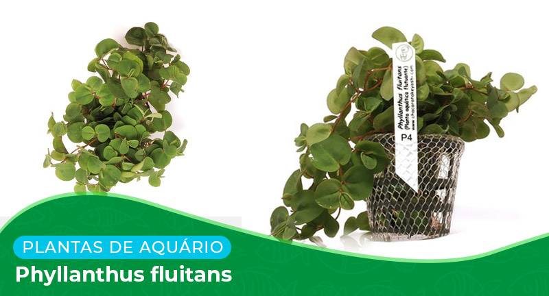 Ficha: Planta Phyllanthus Fluitans