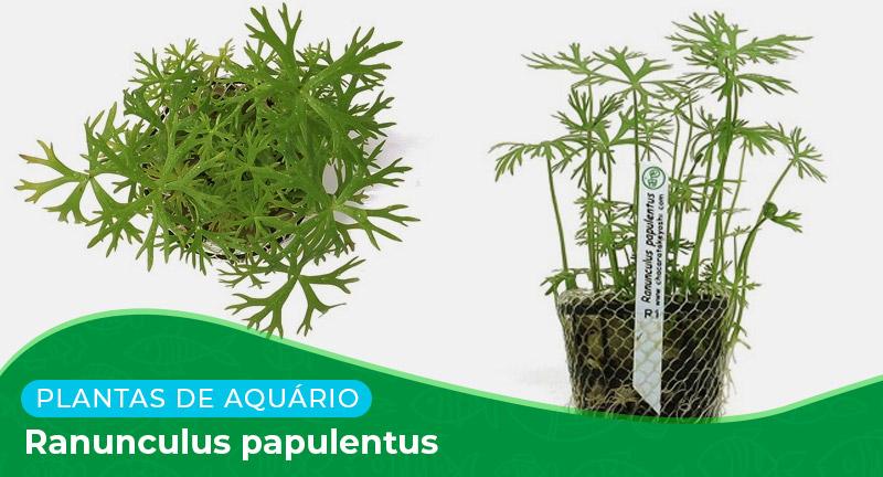 Ficha: Planta Ranunculus Papulentus