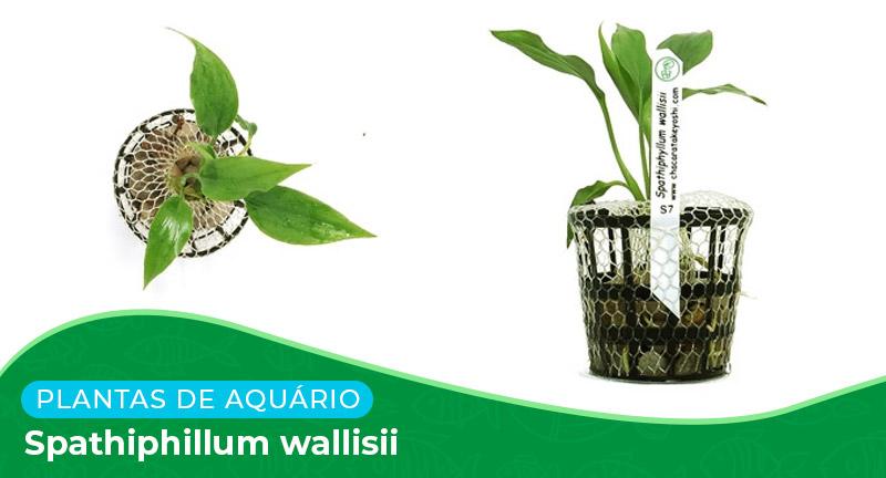 Ficha: Planta Spathiphyllum Wallisii