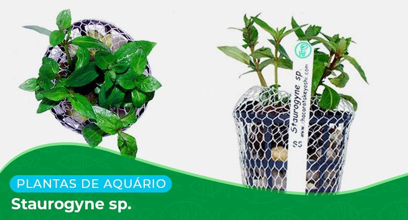 Ficha: Planta Staurogyne sp.