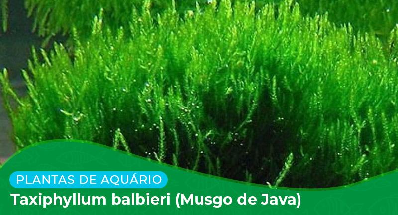 Ficha: Taxiphyllum Balbieri (Musgo de Java)