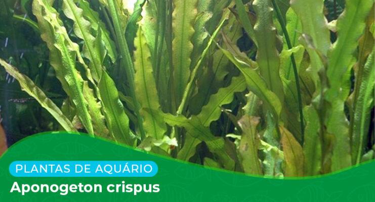 Ficha: Planta Aponogeton Crispus