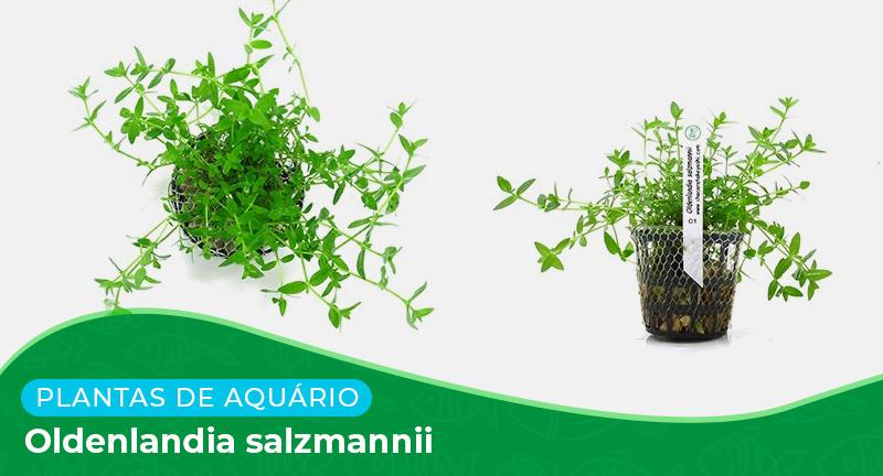 Ficha: Planta Oldenlandia Salzmannii