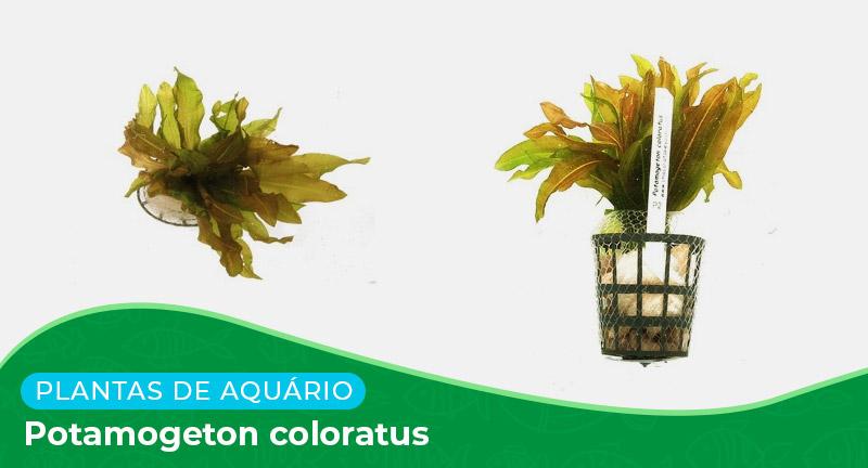 Ficha: Planta Potamogeton Coloratus