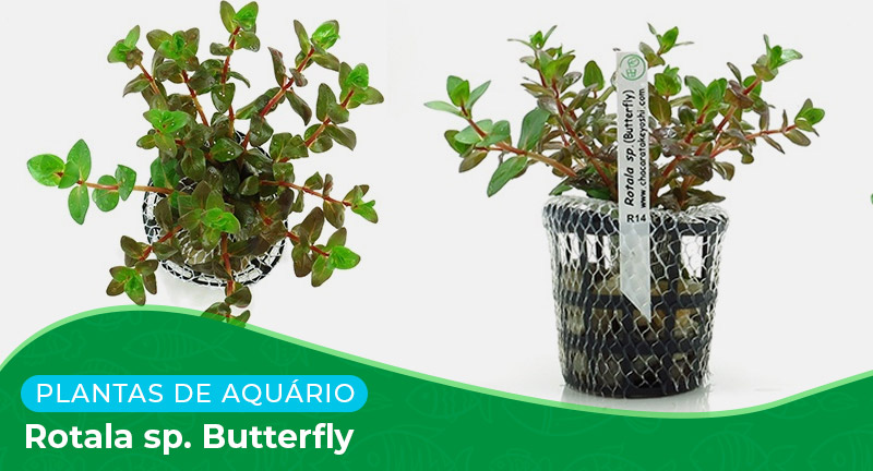 Planta: Rotala sp. Butterfly