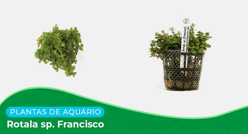 Ficha: Planta Rotala sp. Francisco