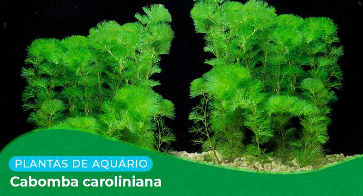 Ficha: Planta Cabomba Caroliniana