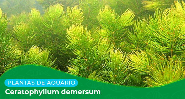 Ficha: Planta Ceratophyllum Demersum