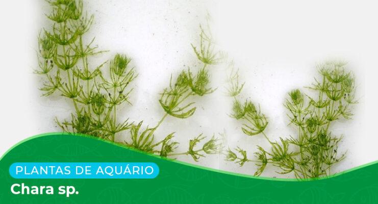 Ficha: Planta Chara sp.