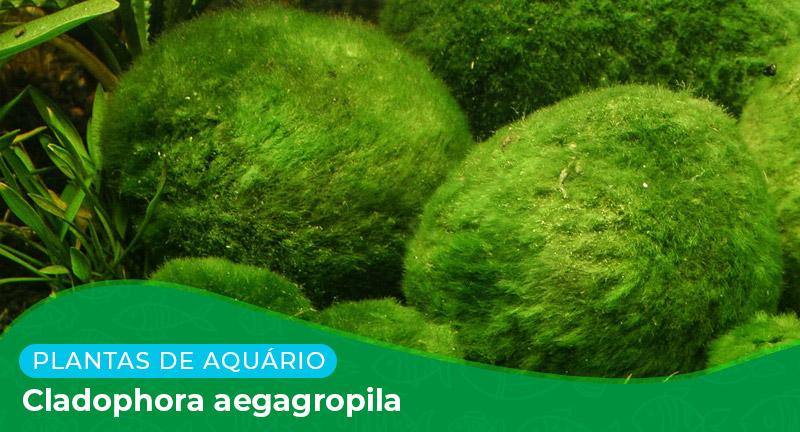 Ficha: Planta Cladophora Aegagropila
