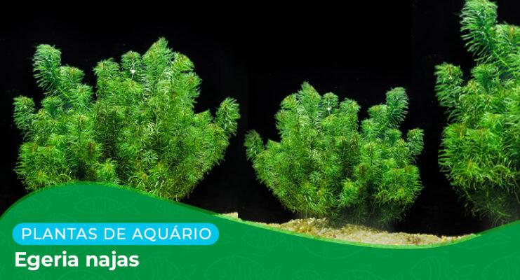 Ficha: Planta Egeria Najas