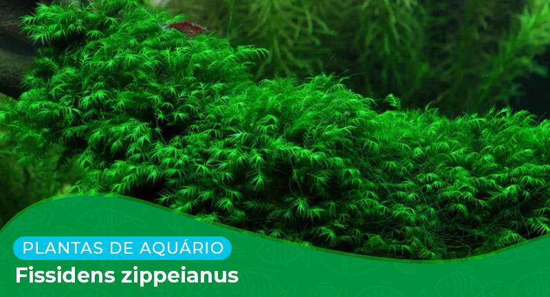 Ficha: Planta Fissidens Zippeianus