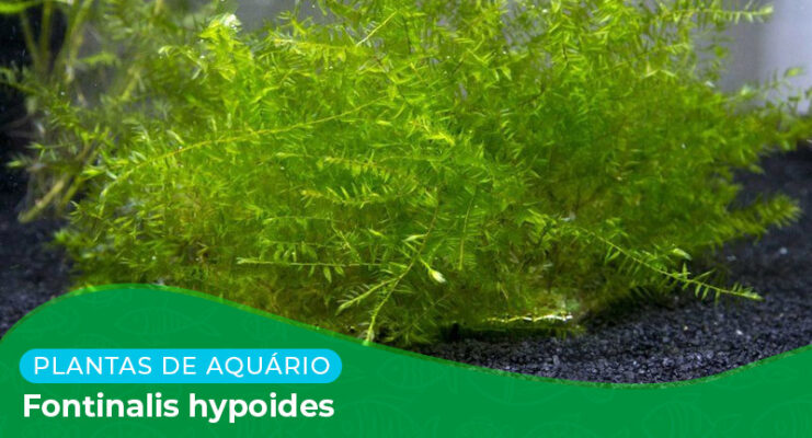 Ficha: Planta Fontinalis Hypnoides