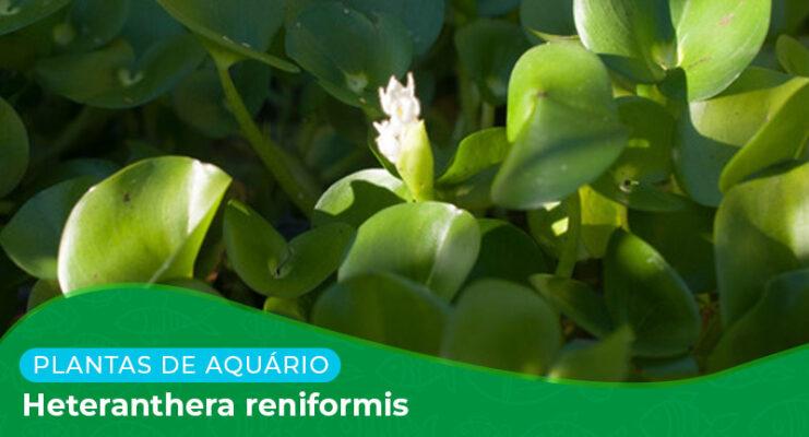 Ficha: Planta Heteranthera Reniformis