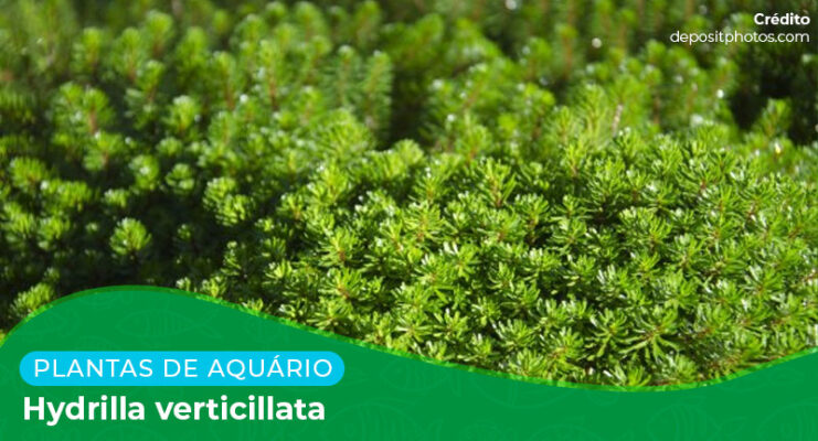 Ficha: Planta Hydrilla Verticillata