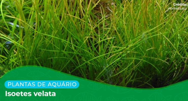 Ficha: Planta Isoetes Velata