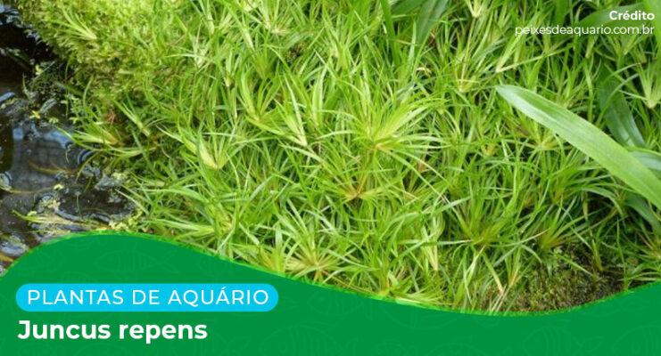 Ficha: Planta Juncus Repens