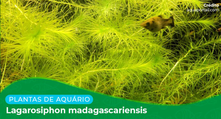 Ficha: Planta Lagarosiphon Madagascariensis